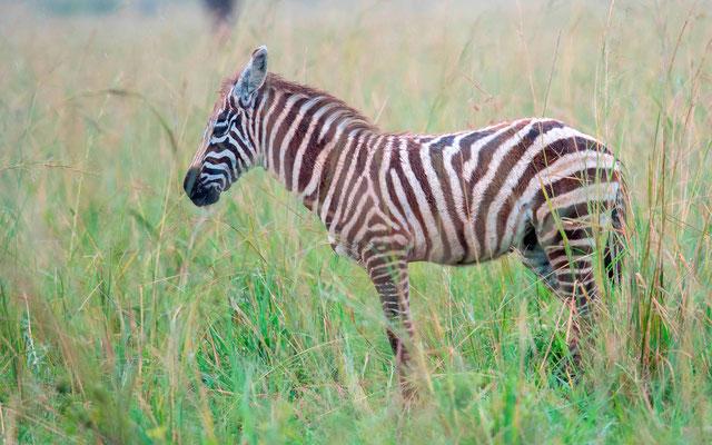 Plains zebra , Equus quagga