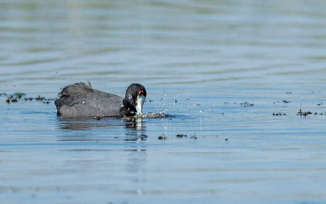 Red-knobbed Coot, Fulica cristata