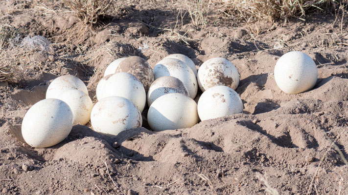 While raising an ostrich in a thicket, we came across its eggs. We quickly left!