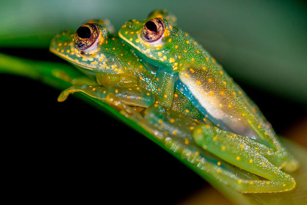Amplexus of Glass frog, Sachatamia albomaculata,  nightwalk in the Punta Marenco forest