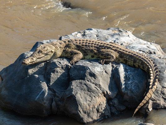 Crocodile du Nil, Crocodylus niloticus. Parc national d'Awash