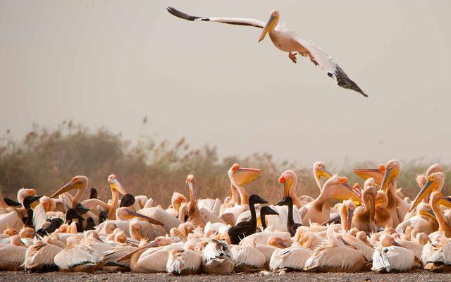 Great White Pelican, Pelicanus onocrotalus colony