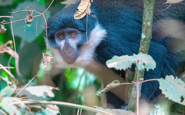 L'Hoest's monkey, Cercopithecus l'hoesti