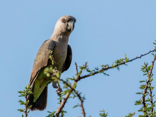 Red-bellied Parrot female, Poicephalus rufivenstris