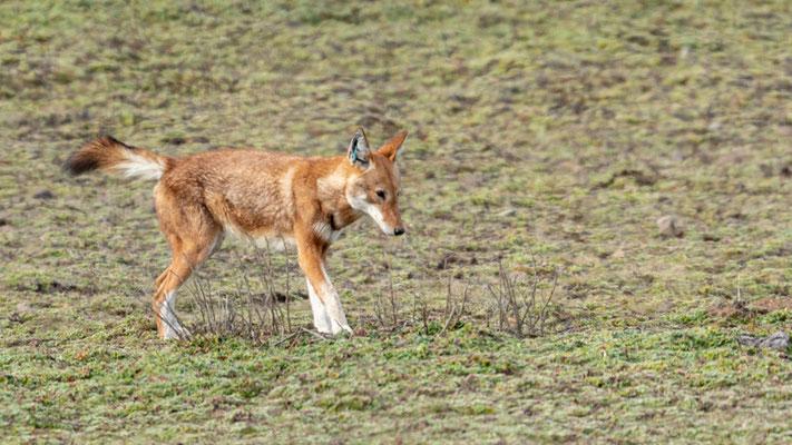 Loup d'Abyssinie, Canis simenso. Individu marqué, car vacciné contre la rage.