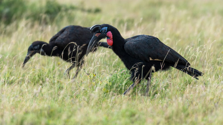 Couple of Abyssinian Ground Hornbill, Bucorvus abyssinicus