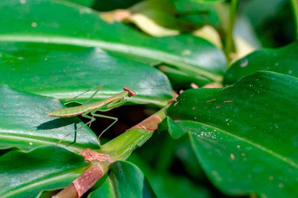 Undefined mantis