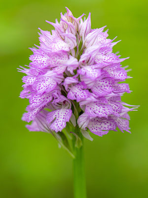 Three-toothed orchid, Neotinea tridentata