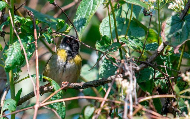 Western Tinkerbird, Pogoniulus coryphaea