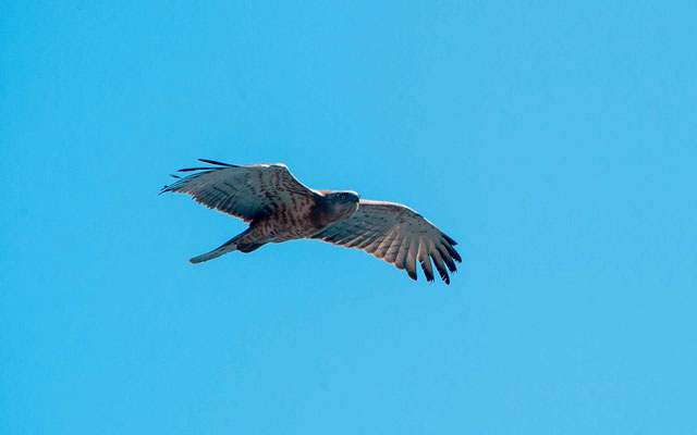 Short-toed Snake Eagle, Circaetus gallicus