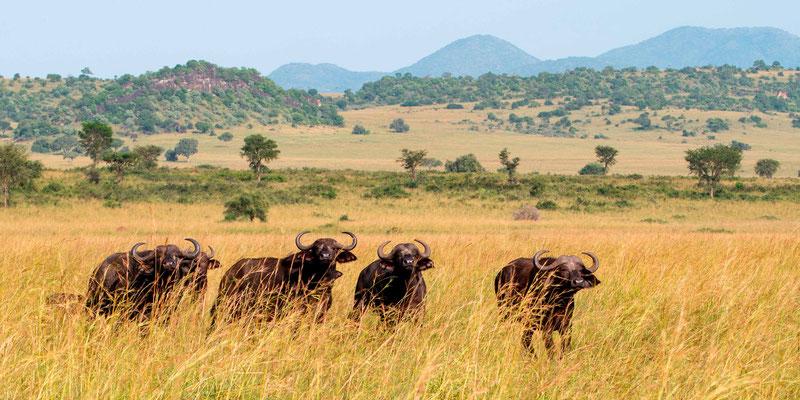 African Buffalo herd, Syncerus caffer