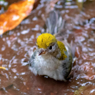 Paruline à flancs marrons, Setophaga pensylvanica. Baignade devant notre chambre. Les avantages de la pluie...