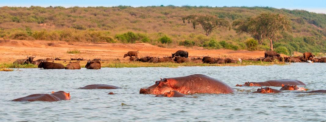 Hippopotamus , Hippopotamus amphibius