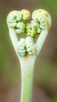 Undefined fern