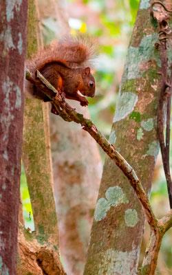 Ecureuil à queue rouge, Sciurus granatensis