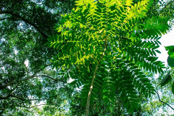 Forêt de Semiliki