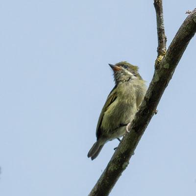 Moustached Tinkerbird, Pogoniulus leucomystax