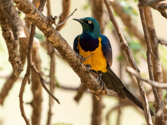 Golden-breasted Starling, Lamprotornis regus