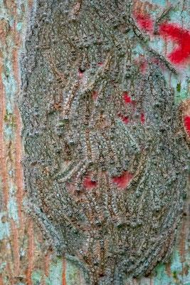 Chenilles sur un tronc d'arbre!