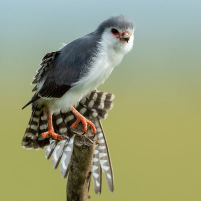 Pygmy Falcon , Polihierax semitorquatus