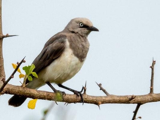 Fischer's Starling , Lamprotornis fischeri