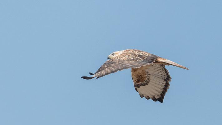 Probably Common Buzzard, Buteo buteo, mais la Long-legged Buzzard not impossible! Aledeghi reserve