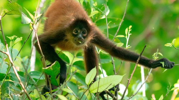 Geoffroy's spider monkey, Ateles geoffroyi, Punta Marenco forest