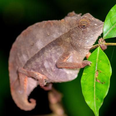 En attente de détermination, probablement Le Caméléon pygmé à petite queue, Rhampholeon brevicaudatus