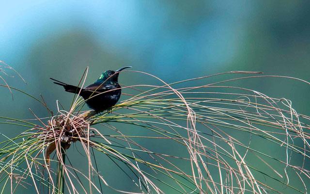 Purple-breasted Sunbird, Nectarinia purpureiventris