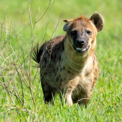 Spotted hyena, Crocuta crocuta