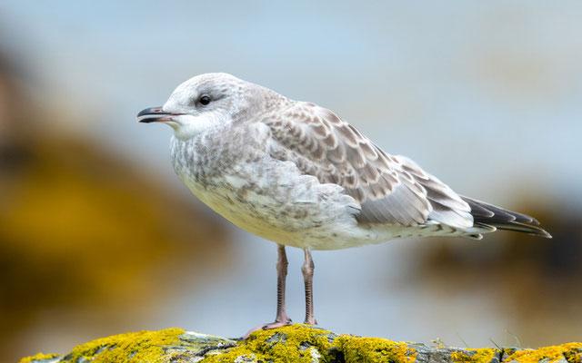 Mew Gull,, Larus canus, immature