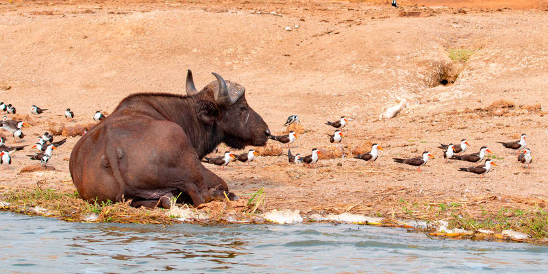 African Buffalo, Syncerus caffer surrounded by African Skimmer