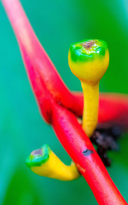 Heliconia sp.