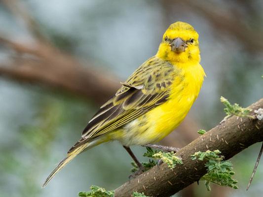 Yellow-crowned Canary , Serinus flavivertex