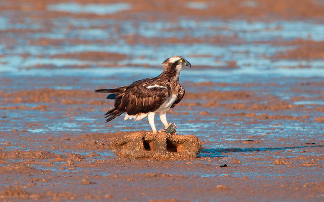 Western Osprey, Pandion haliaetus