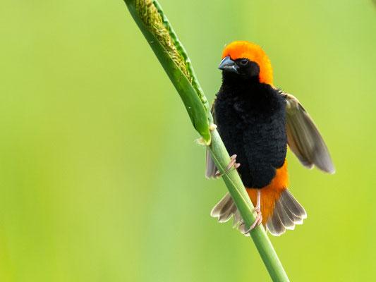 Zanzibar Red Bishopr, Euplectes nigroventris