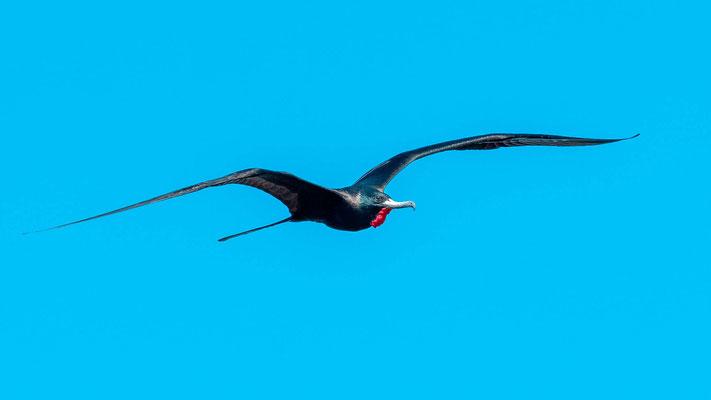 Magnificent Frigatebird, Fregata magnificens mâle