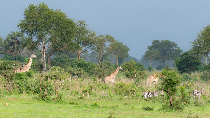 Girafe Massai, Giraffa camelopardalis tippelskirchi