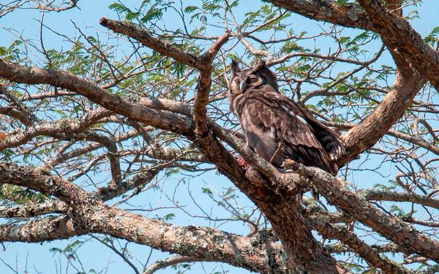 Verreaux's Eagle-Owl, Bubo lacteus