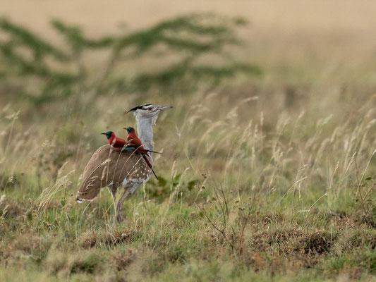 Arabian Bustard, Ardeotis arabs and Northern Carmine Bee-eater, Merops nubicus. Aledeghi reserve