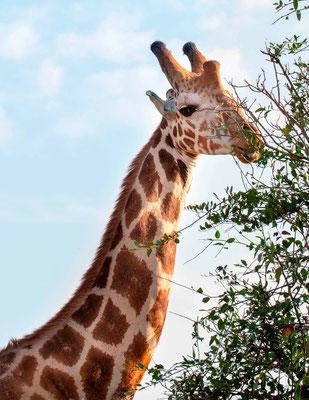 Rothschild's giraffe, Giraffa camelopardalis rothschildi