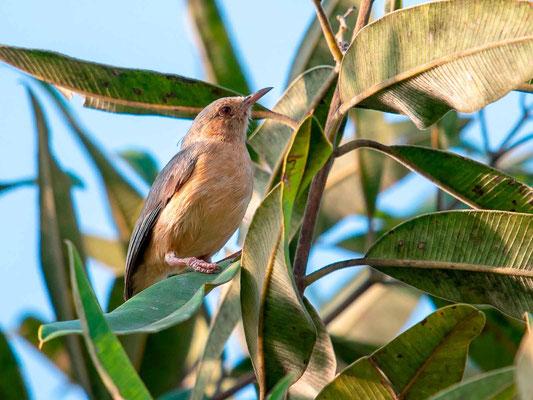 Camaroptère à tête grise, Camaroptera brachyura
