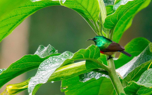 Olive-bellied Sunbird , Cinnyris chloropygius