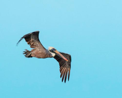 Pélican brun, Pelecanus occidentalis longeant la côte