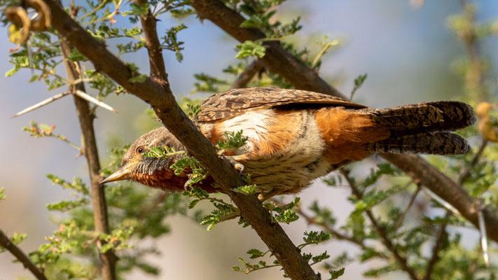 Red-throated Wryneck, Jynx ruficollis. Sabana lodge, Langano lake