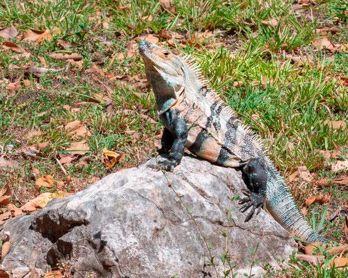 Iguane commun, Iguana iguana