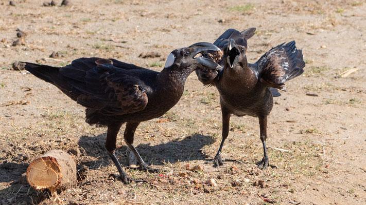 Thick-billed Raven, Corvus crassirostris. Endemic. Hara lodge