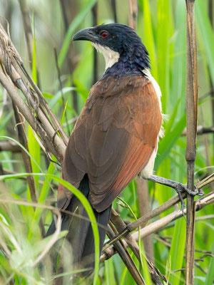 Coppery-tailed Coucal, Centropus cupreicaudus