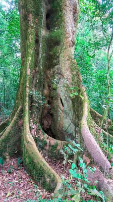 Forêt de Kibale.
