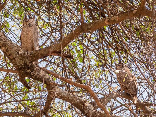 Couple of Greyish Eagle-Owl, Bubo cinerascens. Around the old Simbo Lodge